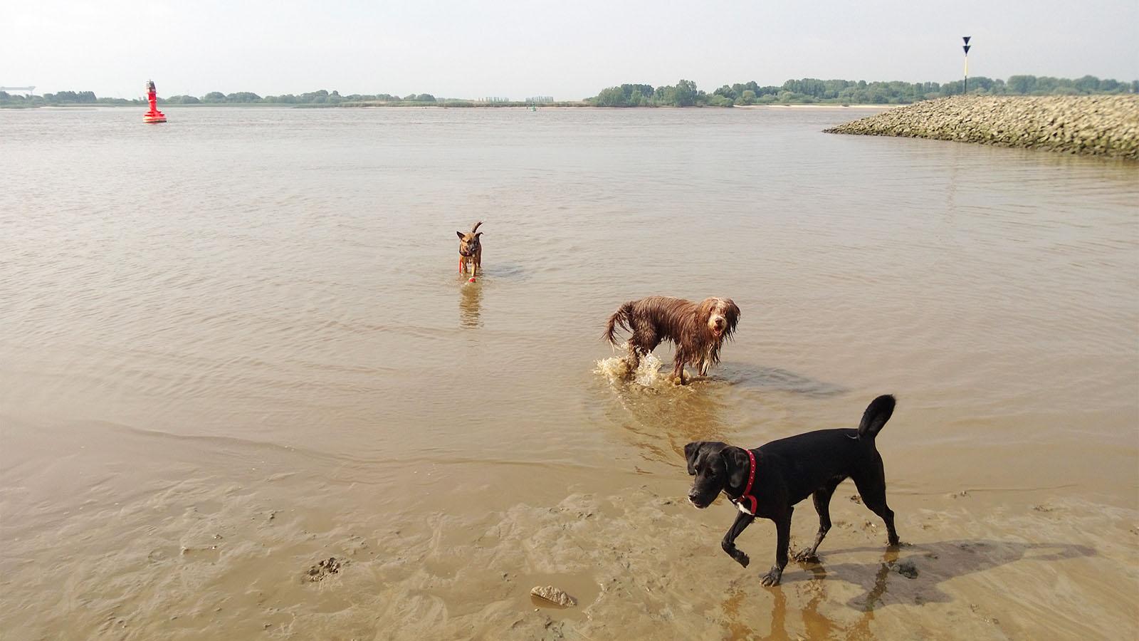 Spass in der Elbe bei Blankenese mit dem Hundesitter -  Hundebetreuung Altona
