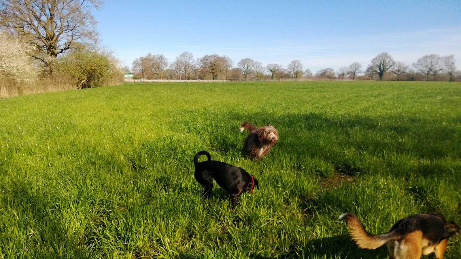 Freilaufend mit dem Hundesitter auf Pinnebergs Wiesen