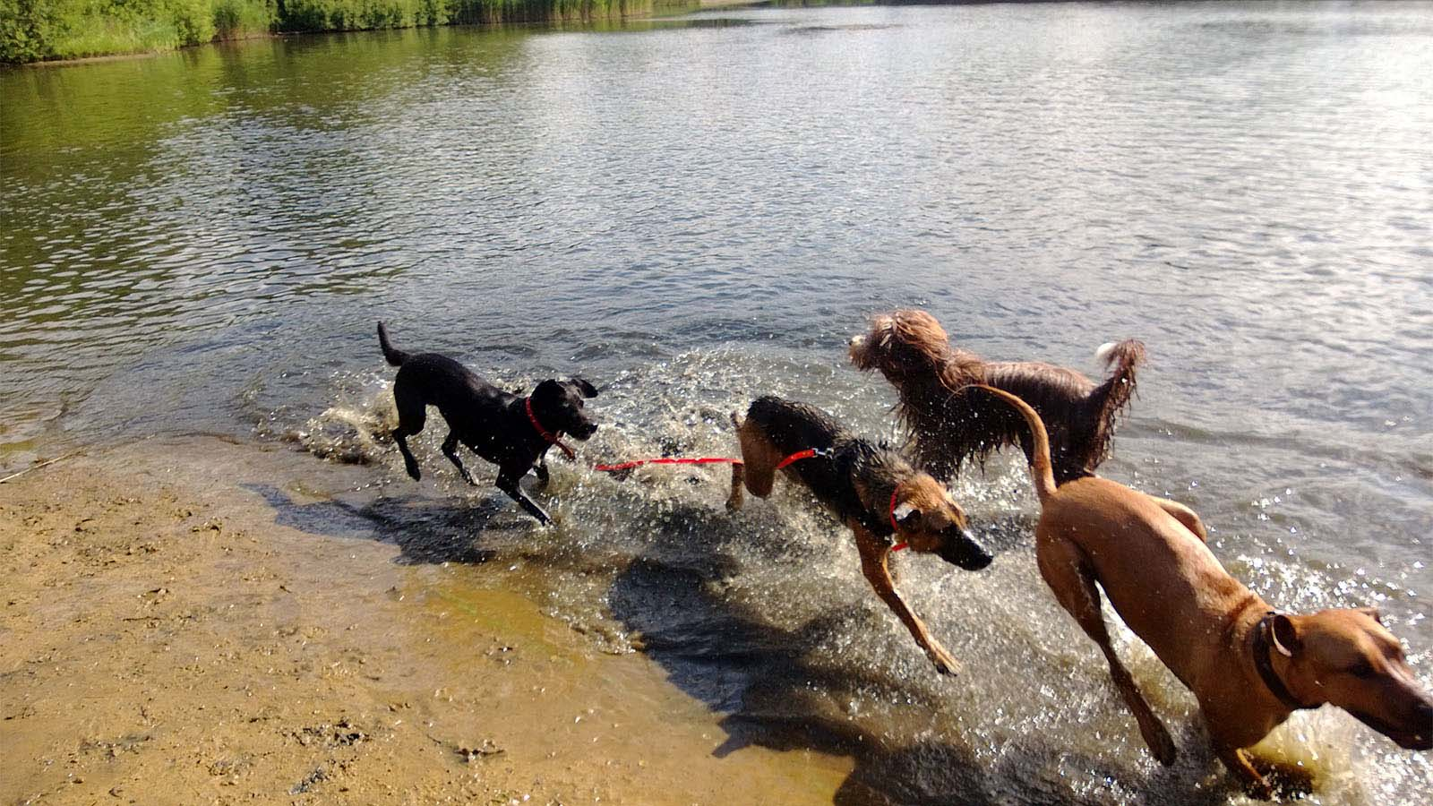 Toben am Wasser im Wolnisee - Hundebetreuung - Altona