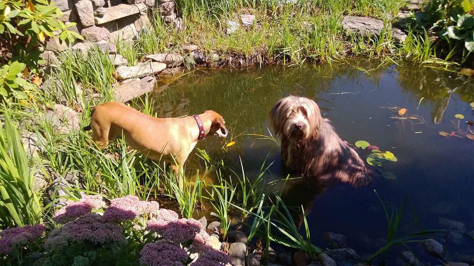 Abkühlung im Gartenteich - Hundebetreuung Altona